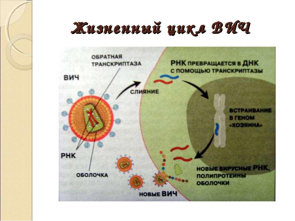 Жизненный цикл ВИЧ