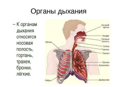 Органы дыхания К органам дыхания относятся носовая полость, гортань, трахея, ...