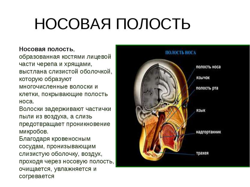 Носовая полость, образованная костями лицевой части черепа и хрящами, выстлан...