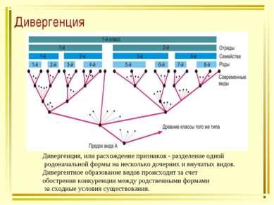 Дивергенция Дивергенция, или расхождение признаков - разделение одной родонач...