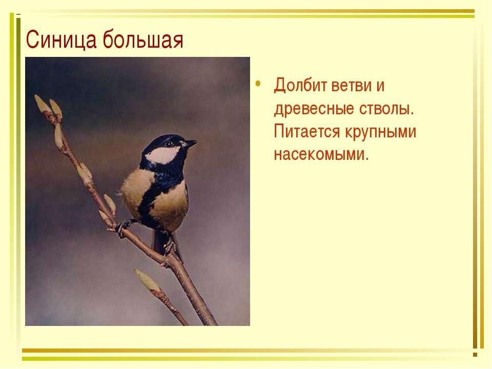Синица большая Долбит ветви и древесные стволы. Питается крупными насекомыми.