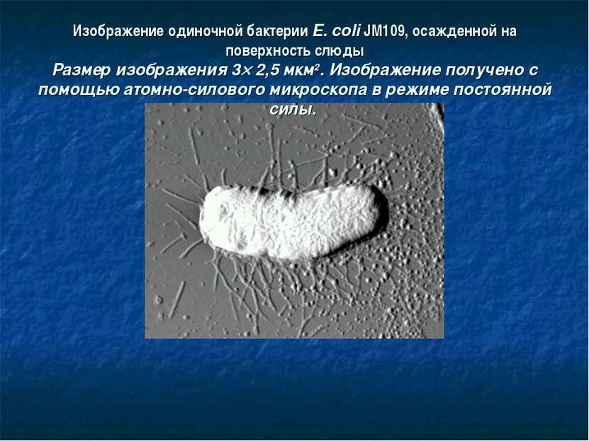Изображение одиночной бактерии E. coli JM109, осажденной на поверхность слюды...