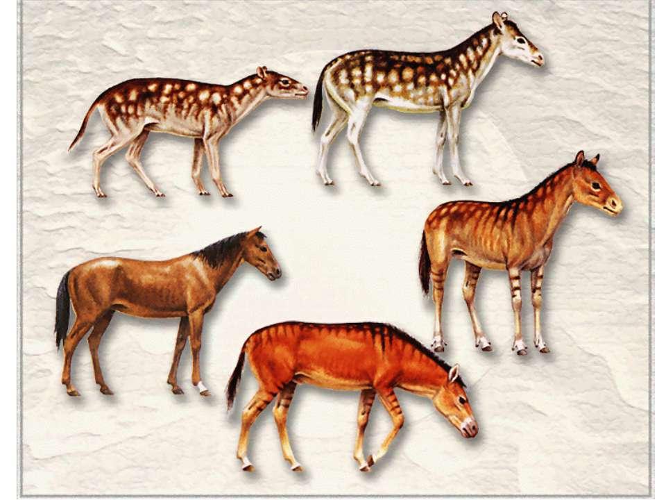 Предок лошади эогиппус