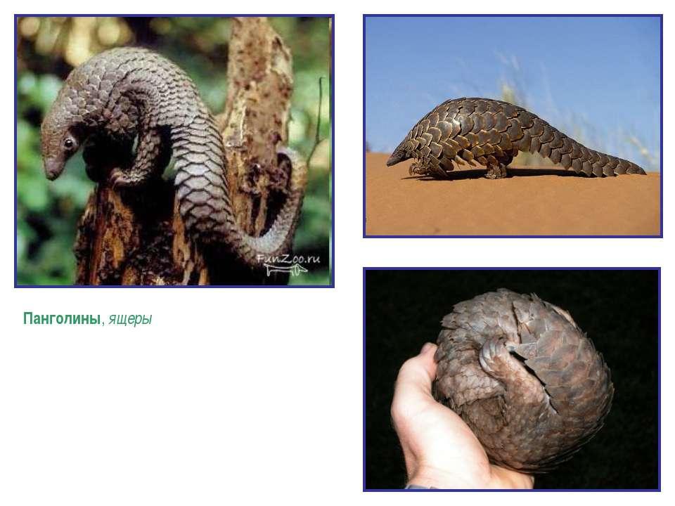 Панголины, ящеры - отряд плацентарных млекопитающих. Их название происходит о...
