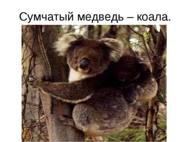 Сумчатый медведь – коала.