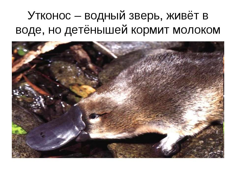 Утконос – водный зверь, живёт в воде, но детёнышей кормит молоком