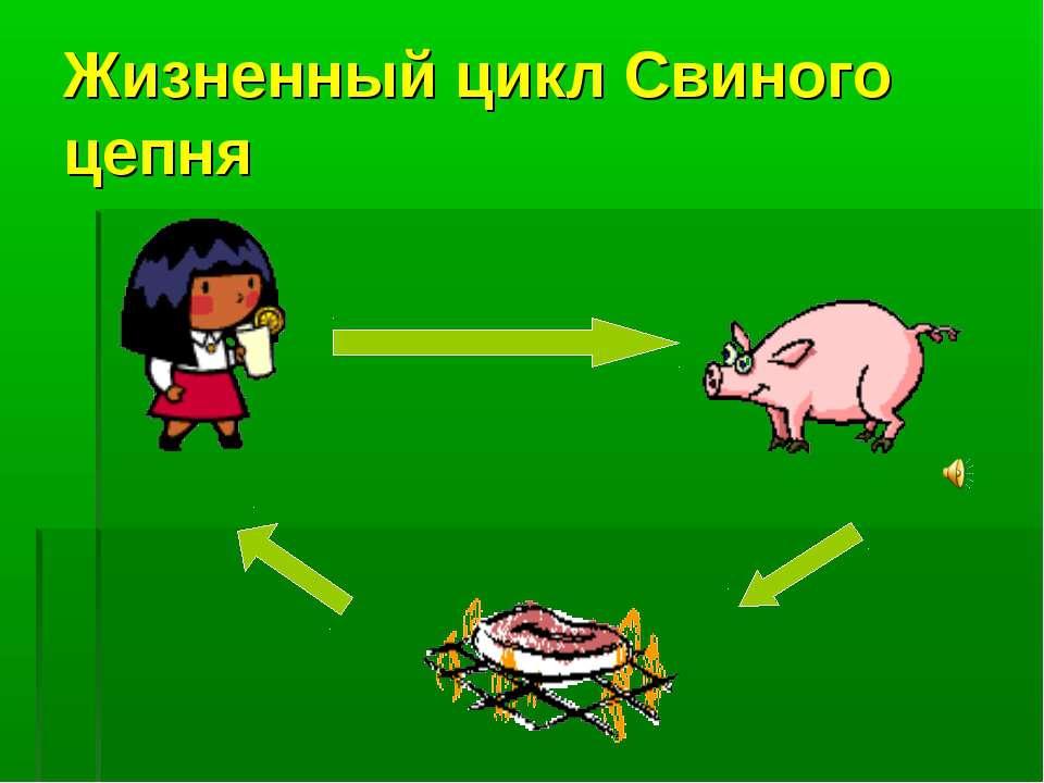 Жизненный цикл Свиного цепня