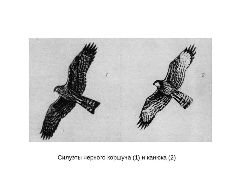 Силуэты черного коршуна (1) и канюка (2)