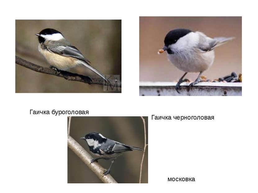 Гаичка буроголовая Гаичка черноголовая московка