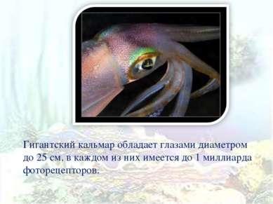 Гигантский кальмар обладает глазами диаметром до 25 см, в каждом из них имеет...