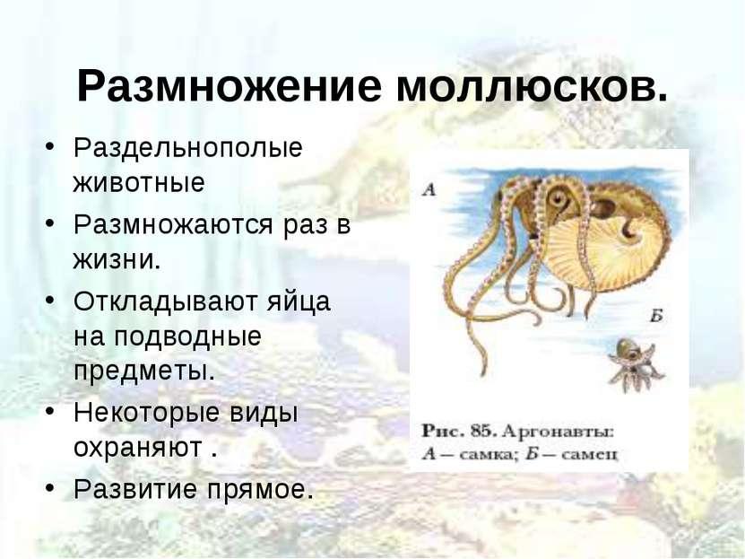 Размножение моллюсков. Раздельнополые животные Размножаются раз в жизни. Откл...