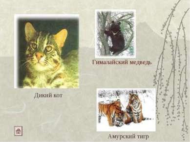 Гималайский медведь Дикий кот Амурский тигр