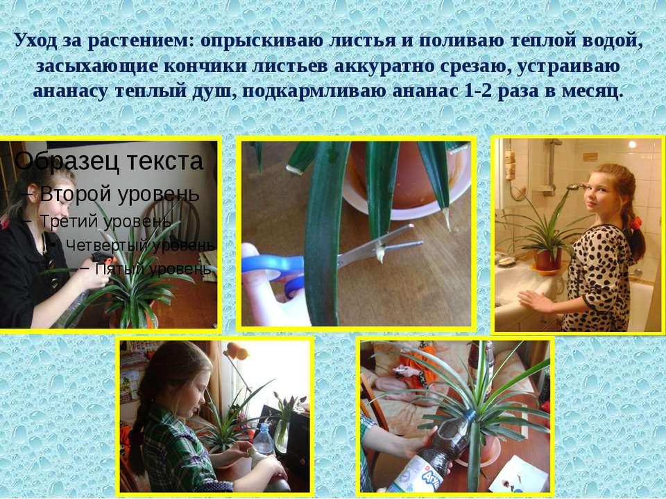 Уход за растением: опрыскиваю листья и поливаю теплой водой, засыхающие кончи...