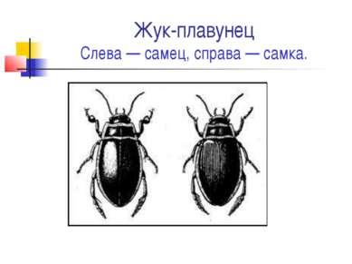 Жук-плавунец Слева — самец, справа — самка.