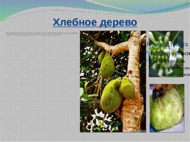 Хлебное дерево Мякоть созревших плодов хлебного дерева пекут, варят, сушат, з...