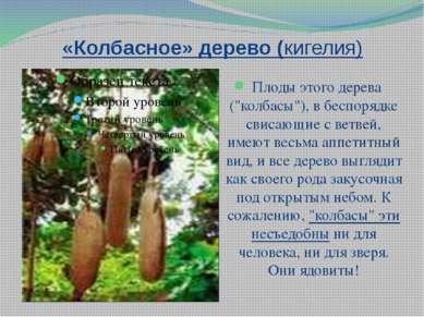 """«Колбасное» дерево (кигелия) Плоды этого дерева (""""колбасы""""), в беспорядке сви..."""