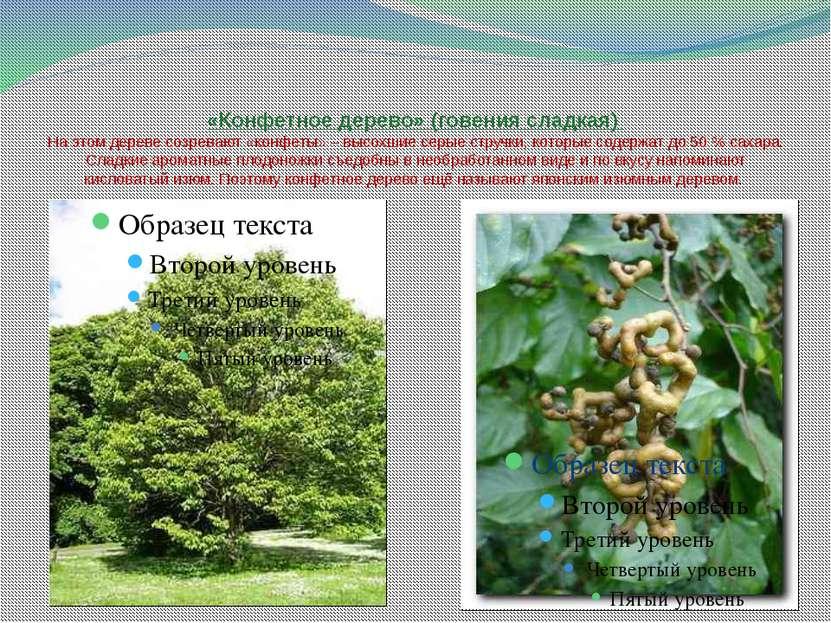 «Конфетное дерево» (говения сладкая) На этом дереве созревают «конфеты» – выс...