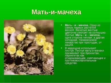 Мать-и-мачеха Мать - и - мачеха. Одно из самых первых растений весной. Веселы...