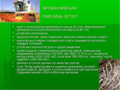 ЯРОВАЯ МЯГКАЯ ПШЕНИЦА ЭСТЕР сорт с потенциалом урожайности выше 6,5 т/га. Мак...
