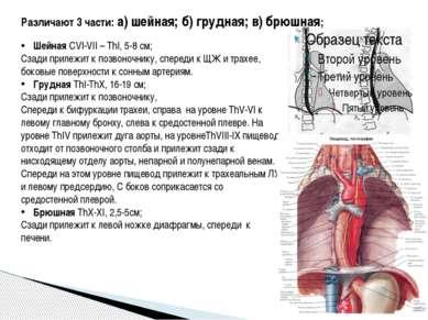 Различают 3 части: а) шейная; б) грудная; в) брюшная; Шейная CVI-VII – ThI, 5...