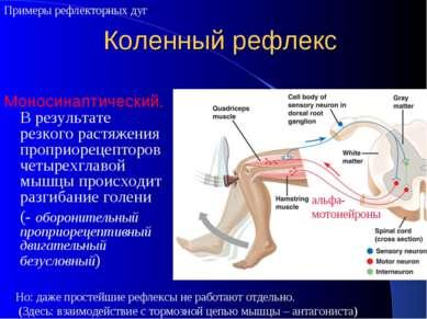 Коленный рефлекс Моносинаптический. В результате резкого растяжения проприоре...