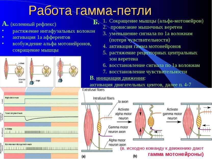 Работа гамма-петли А. (коленный рефлекс) растяжение интафузальных волокон акт...
