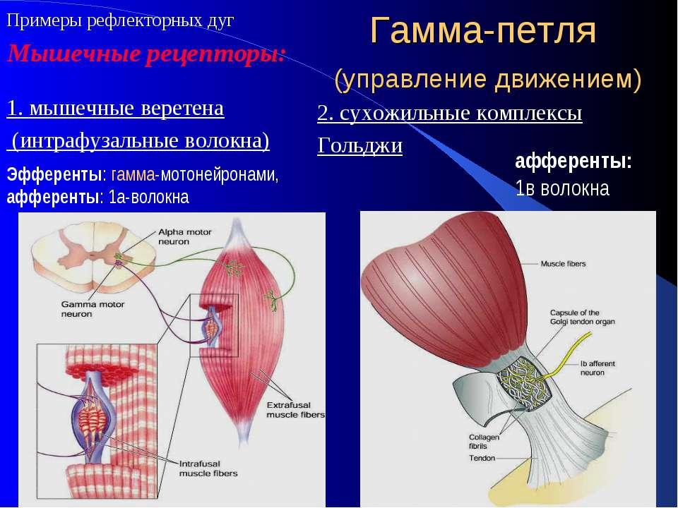 Гамма-петля (управление движением) 1. мышечные веретена (интрафузальные волок...