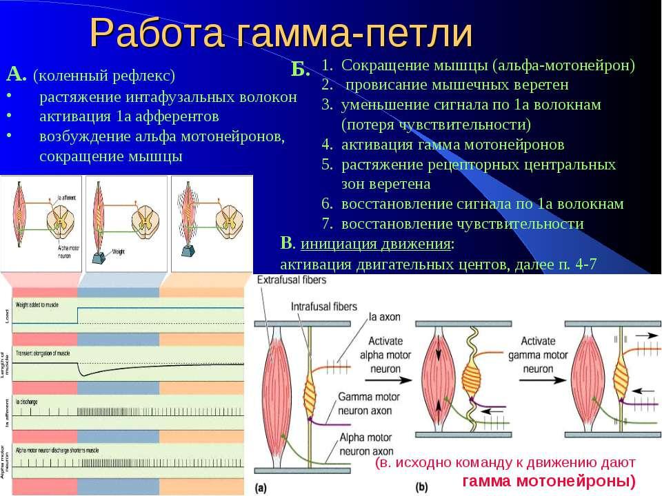 Рефлекс Растяжения Мышцы фото