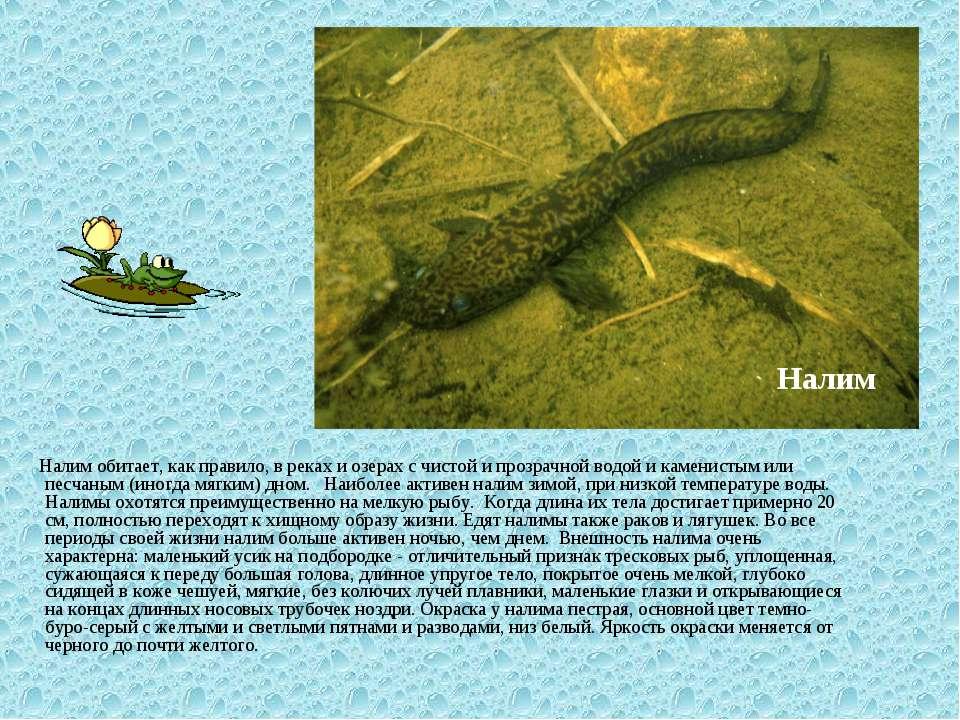 Налим обитает, как правило, в реках и озерах с чистой и прозрачной водой и ка...