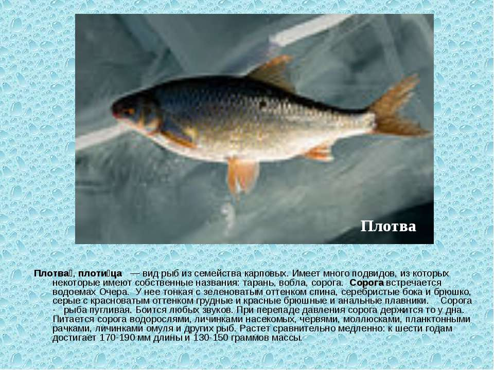 Плотва , плоти ца — вид рыб из семейства карповых. Имеет много подвидов, из к...