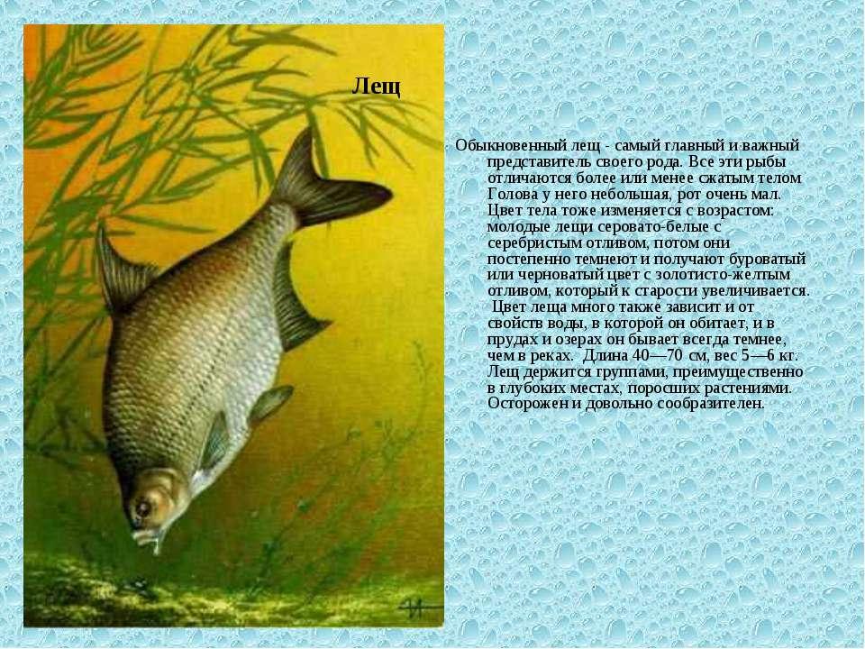Обыкновенный лещ - самый главный и важный представитель своего рода. Все эти ...