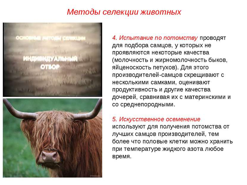 Методы селекции животных 4. Испытание по потомству проводят для подбора самцо...