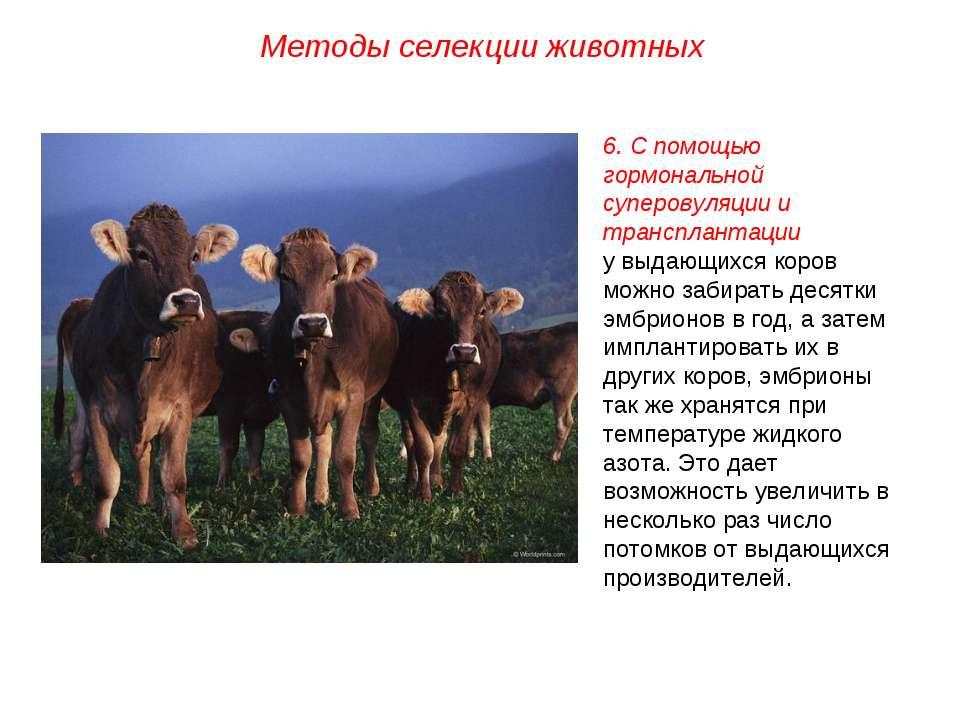 Методы селекции животных 6. С помощью гормональной суперовуляции и трансплант...