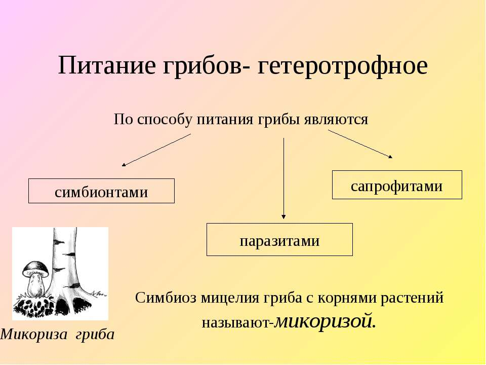 Микориза гриба