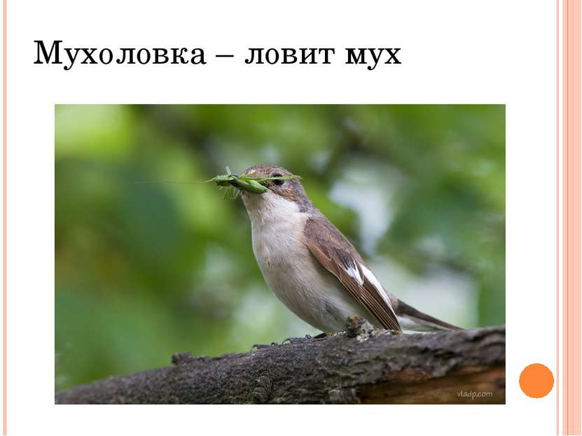 Мухоловка – ловит мух