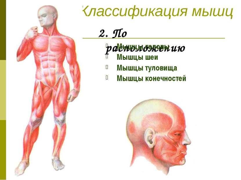 Классификация мышц 2. По расположению Мышцы головы Мышцы шеи Мышцы туловища М...