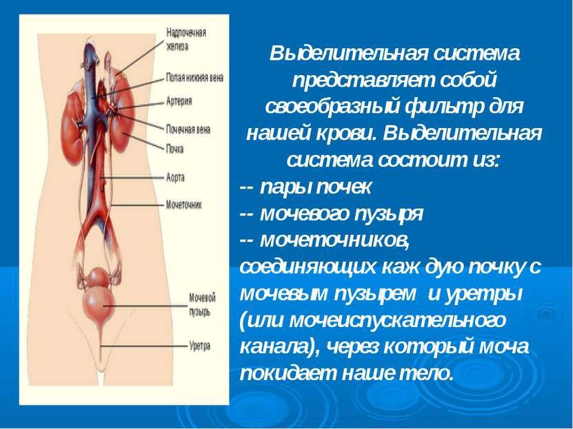 Выделительная система представляет собой своеобразный фильтр для нашей крови....