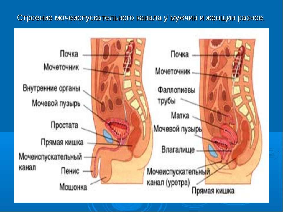 Строение мочеиспускательного канала у мужчин и женщин разное.