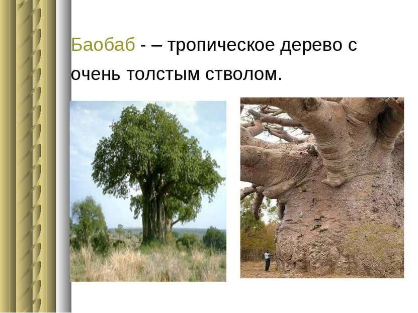 Баобаб - – тропическое дерево с очень толстым стволом.