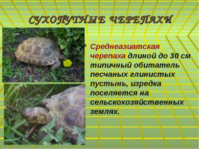 СУХОПУТНЫЕ ЧЕРЕПАХИ Среднеазиатская черепаха длиной до 30 см типичный обитате...