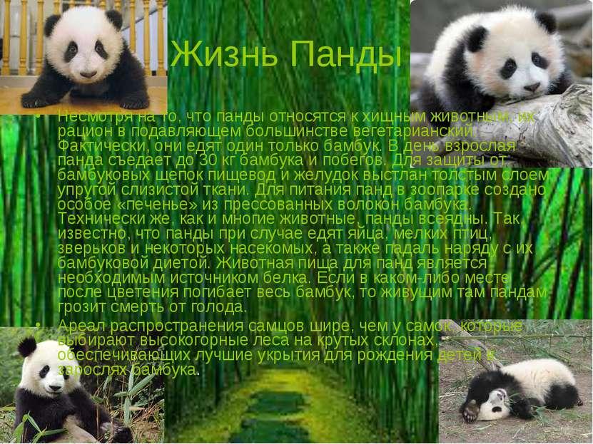 Жизнь Панды Несмотря на то, что панды относятся к хищным животным, их рацион ...