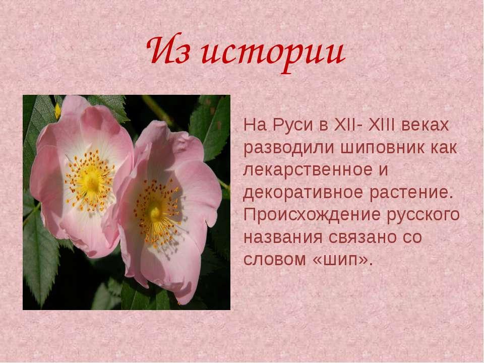 Из истории На Руси в ХII- ХIII веках разводили шиповник как лекарственное и д...