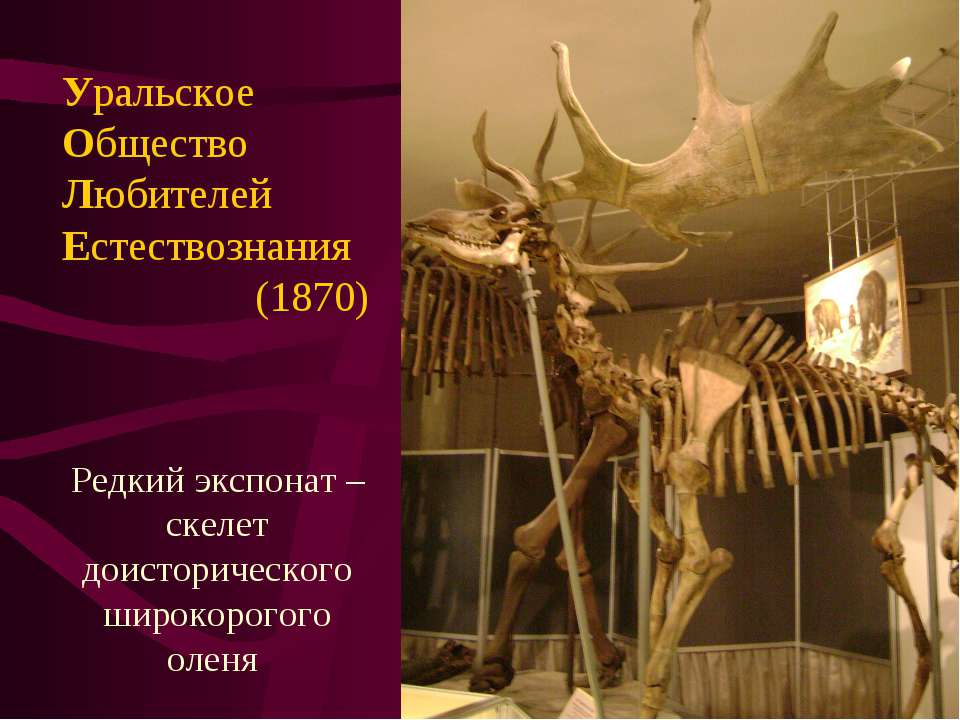 Редкий экспонат – скелет доисторического широкорогого оленя Уральское Обществ...