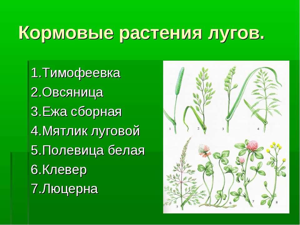 Кормовые растения лугов. 1.Тимофеевка 2.Овсяница 3.Ежа сборная 4.Мятлик лугов...