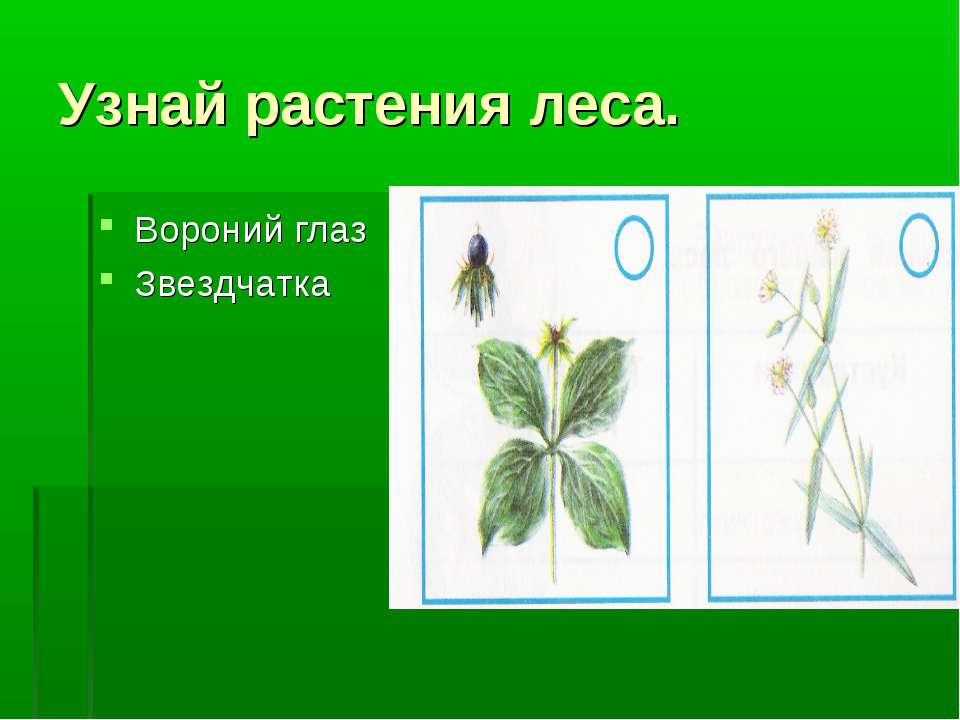 Узнай растения леса. Вороний глаз Звездчатка