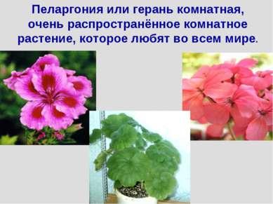 Пеларгония или герань комнатная, очень распространённое комнатное растение, к...