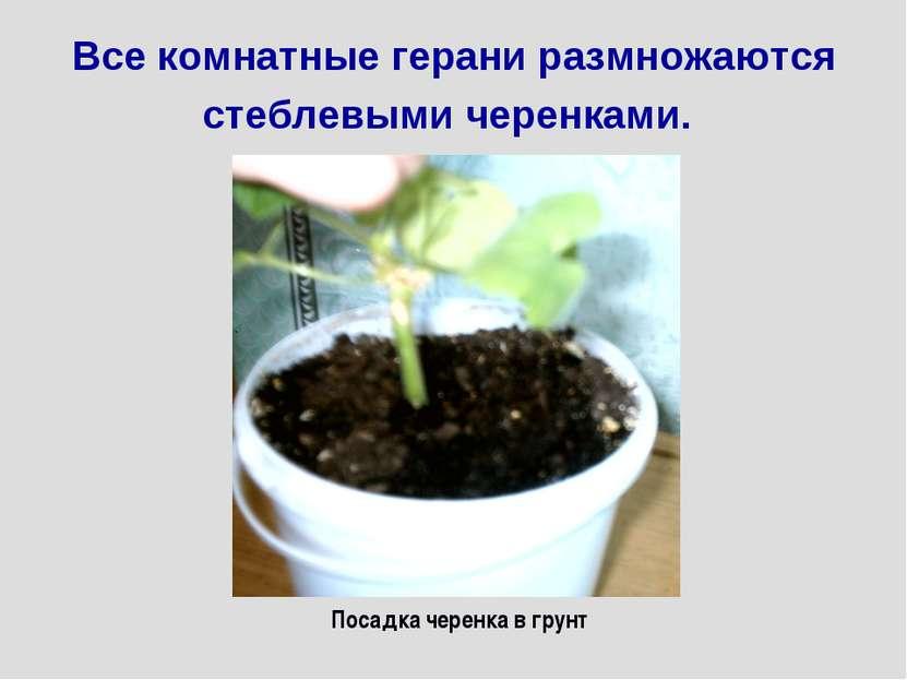 Все комнатные герани размножаются стеблевыми черенками. Посадка черенка в грунт