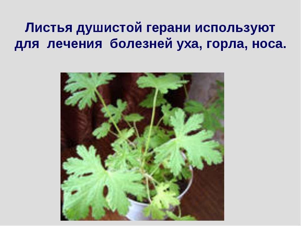 Листья душистой герани используют для лечения болезней уха, горла, носа.