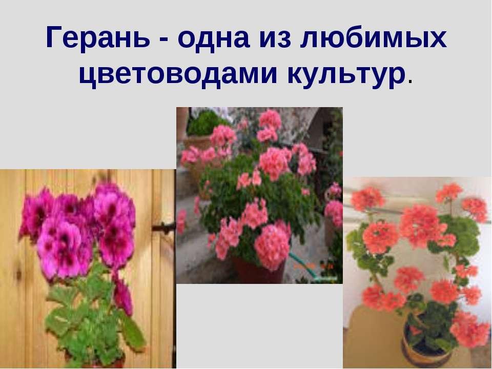 Герань - одна из любимых цветоводами культур.