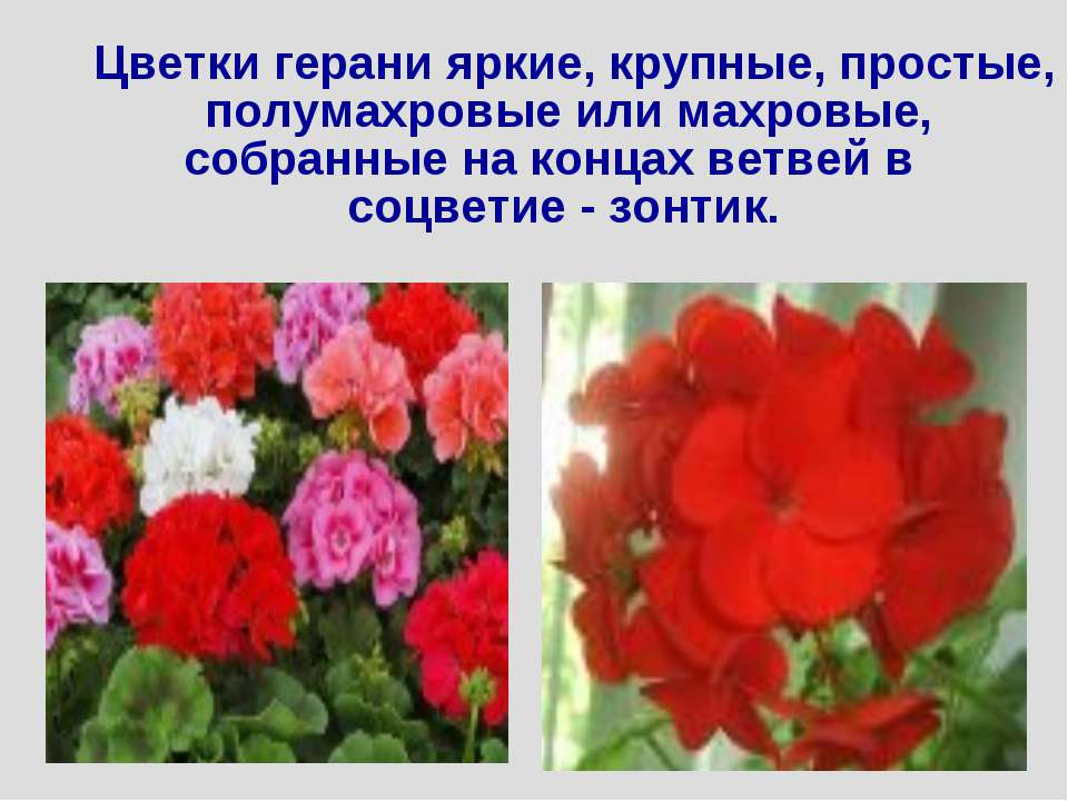 Цветки герани яркие, крупные, простые, полумахровые или махровые, собранные н...